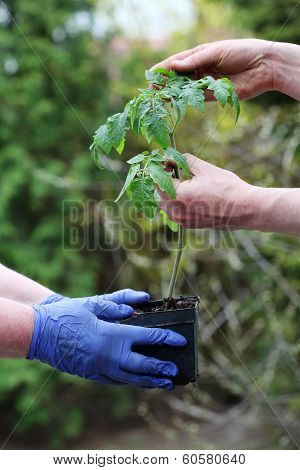 Checking Young Tomato Seedling