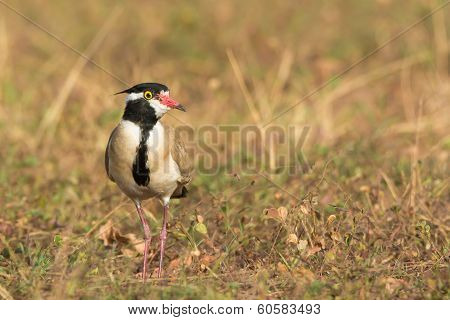 Black-headed Plover Standing In A Dry Field