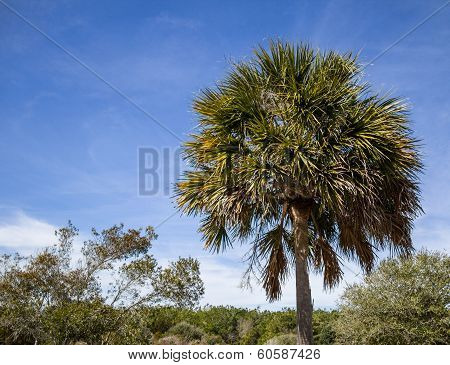 South Carolina Palmetto Tree