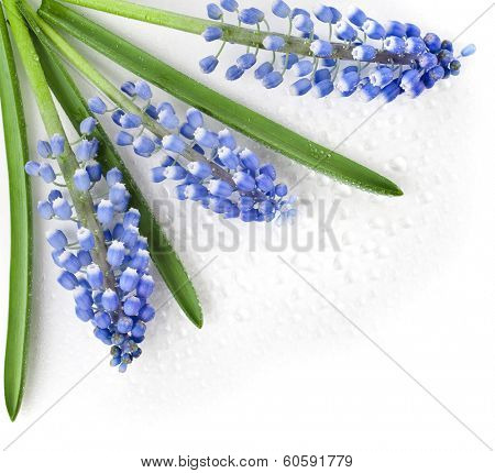 Springs Card surface of Flowers Muscari with water drops Isolated on white background