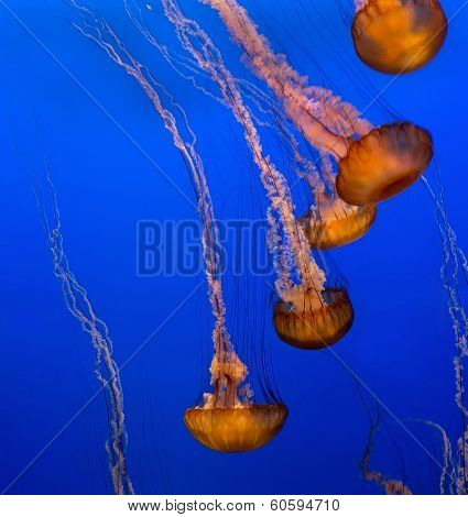 Group Of Jellyfishes On Blue Background