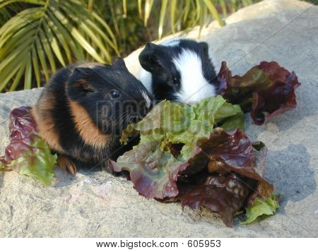 Baby Guinea Pigs Eating