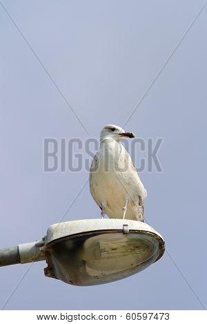 Gull On Light Pole
