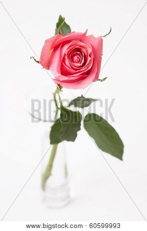rose in glass vase on white