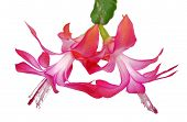 image of schlumbergera  - Flower Decembrists  - JPG