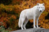 image of quadruped  - This is an Arctic Wolf standing and looking at the camera on a fall day - JPG