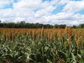 pic of sorghum  - Ripening sorghum field in south Georgia USA - JPG