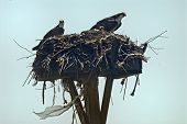 picture of osprey  - Osprey mother and father with their baby on the nest - JPG