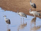 A Group Of Sandhill Cranes At A Pond