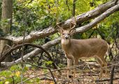 stock photo of  bucks  - A whitetail deer buck standing in the woods - JPG