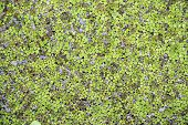 Small Green Duckweeds