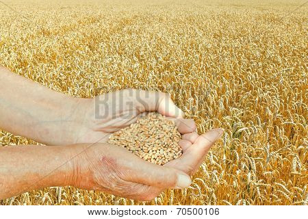 Male Hands Hold Seeds On Wheat Field