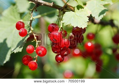 Red Currant Berries Close Under Green Leaves