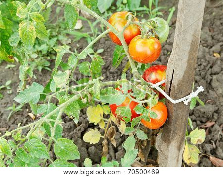 Several Red Tomato On Bush In Garden
