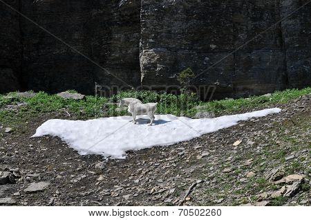 Mountain Goat Cooling off on Snow