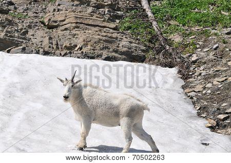 White Goat on the Snow