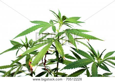Shallow Depth Of Field, Close Up Views of a Genuine Medical Marijuana, Female Cannabis Sativa  plant isolated on white. Medical Marijuana is now legal in 23 of the United States with more on the way.