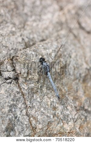 Spangled Skimmer Dragonfly On Stone.