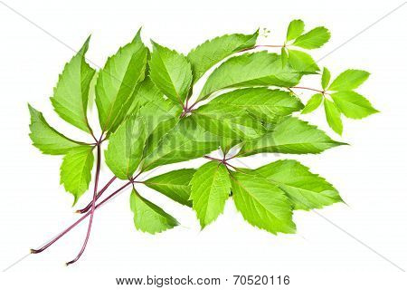 Leaves Of Wild Grape On White Background.
