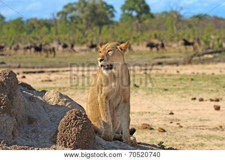Lioness in Hwange National Park