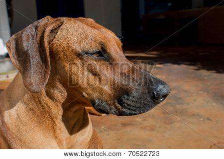 Rhodesian dog