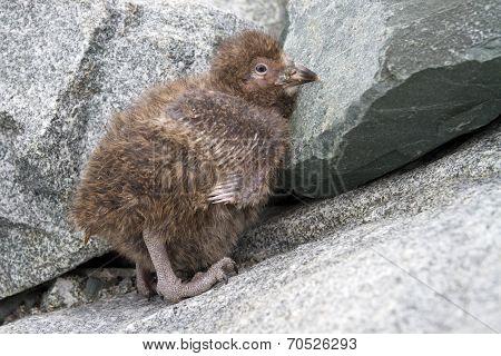 Downy Chick Snowy Sheathbill Sitting On The Rocks Near The Nest