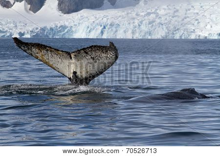 Tail And Back Of Two Humpback Whales Swimming In The Background Of Glaciers