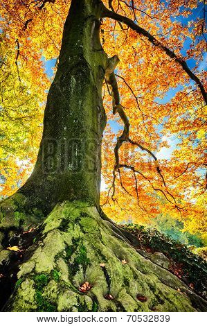 Beautiful Hornbeam Tree