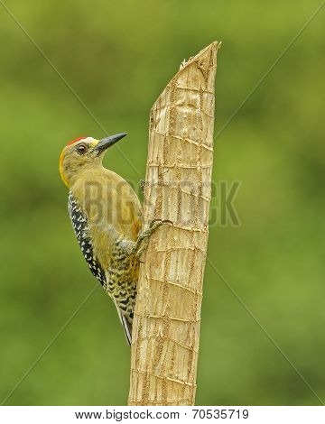 Hoffmann's Woodpecker-portrait