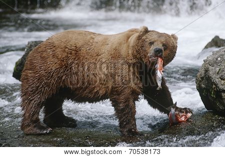 USA, Alaska, Katmai National Park, Brown Bears eating Salmon river, side view