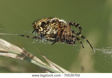 Spider weaving web, close up
