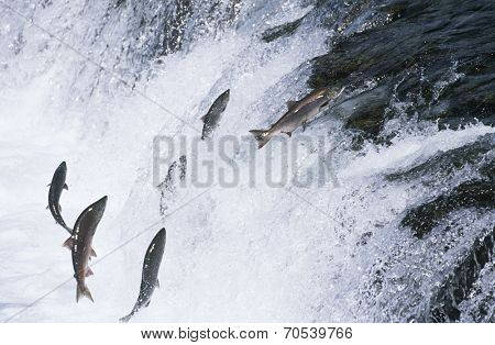 Group of Salmon jumping upstream in river