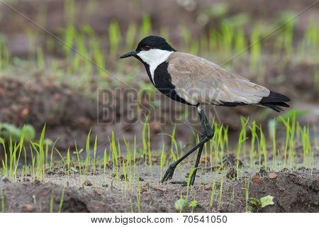 Spur-winged Lapwing (vanellus Spinosus) Walking Along New Shoots Of Rice