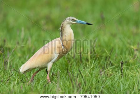 Squacco Heron (ardeola Ralloides) Walking Through A Sedge Filled Marsh