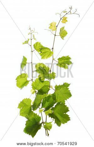 Vine Leaves Isolated On White