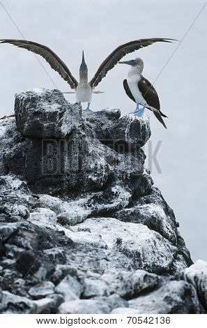 Ecuador, Galapagos Islands, two Blue-footed Boobys on top of rock