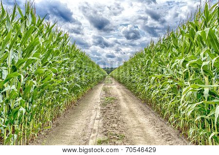 Agricultural field on which the green corn grows