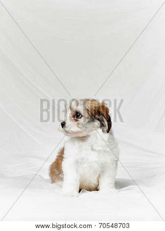 Bichon Havanese Puppy