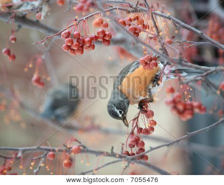American Robin In Berry Tree
