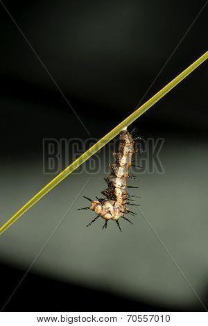 Caterpillar Chrysalis