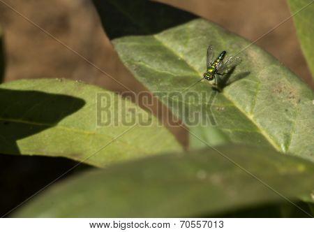 Metallic Fly