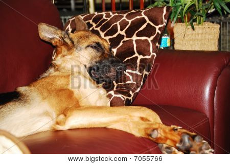 SLEEPING DOG ON COUCH