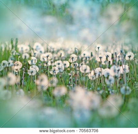 Dandelion (dandelion seed - fluffy blowball)