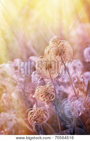 Beautiful softness flower (fluffy) lit by sun rays