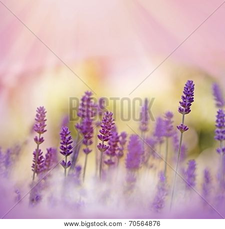 Oh, what a beautiful lavender