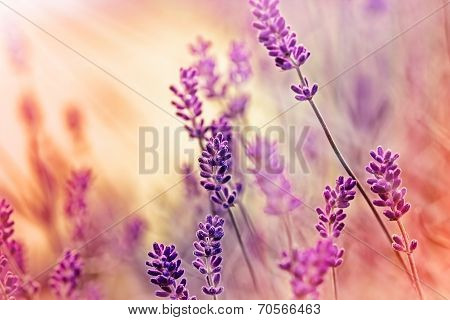 Lavender illuminated by sunlight