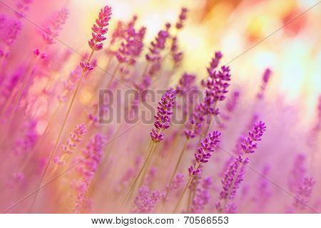 Lavender in flower garden