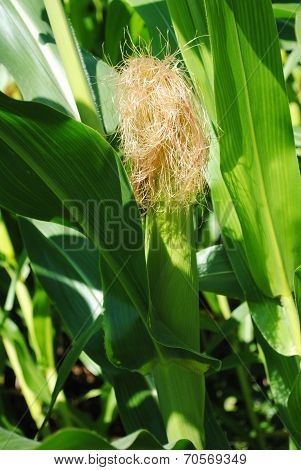 A Single Corn Cob Growing In A Cornfield