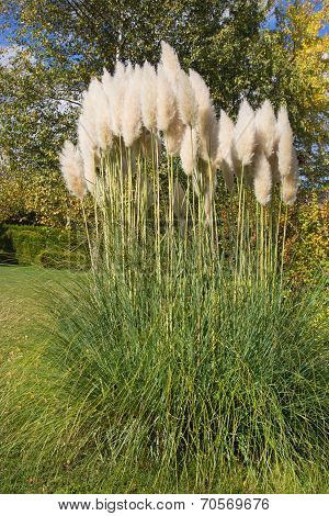 Pampas Grass In The Garden In Autumn.