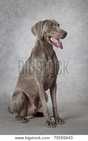 Shorthaired Weimaraner Dog, Three Years Old